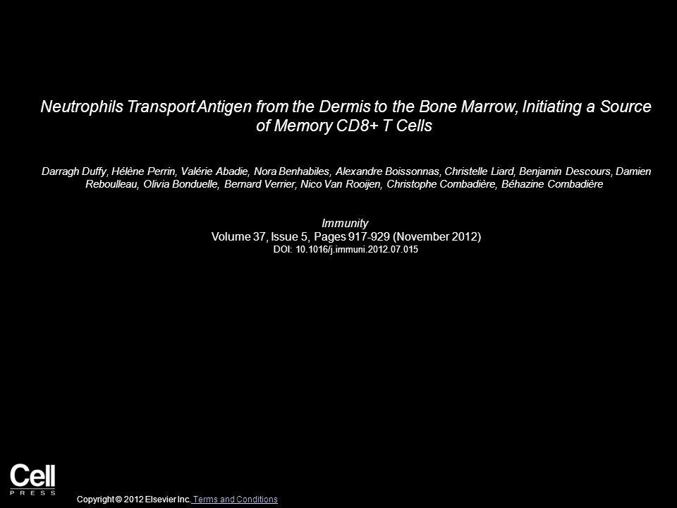 Neutrophils Transport Antigen from the Dermis to the Bone Marrow, Initiating a Source of Memory CD8+ T Cells Darragh Duffy, Hélène Perrin, Valérie Abadie, Nora Benhabiles, Alexandre Boissonnas, Christelle Liard, Benjamin Descours, Damien Reboulleau, Olivia Bonduelle, Bernard Verrier, Nico Van Rooijen, Christophe Combadière, Béhazine Combadière Immunity Volume 37, Issue 5, Pages 917-929 (November 2012) DOI: 10.1016/j.immuni.2012.07.015 Copyright © 2012 Elsevier Inc.