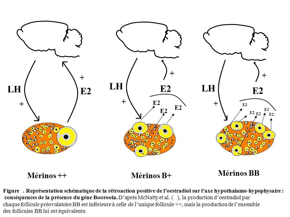 Mérinos BB Mérinos B+Mérinos ++ E2 + + LH E2 + + LH E2 + + LH Figure. Représentation schématique de la rétroaction positive de l'oestradiol sur l'axe
