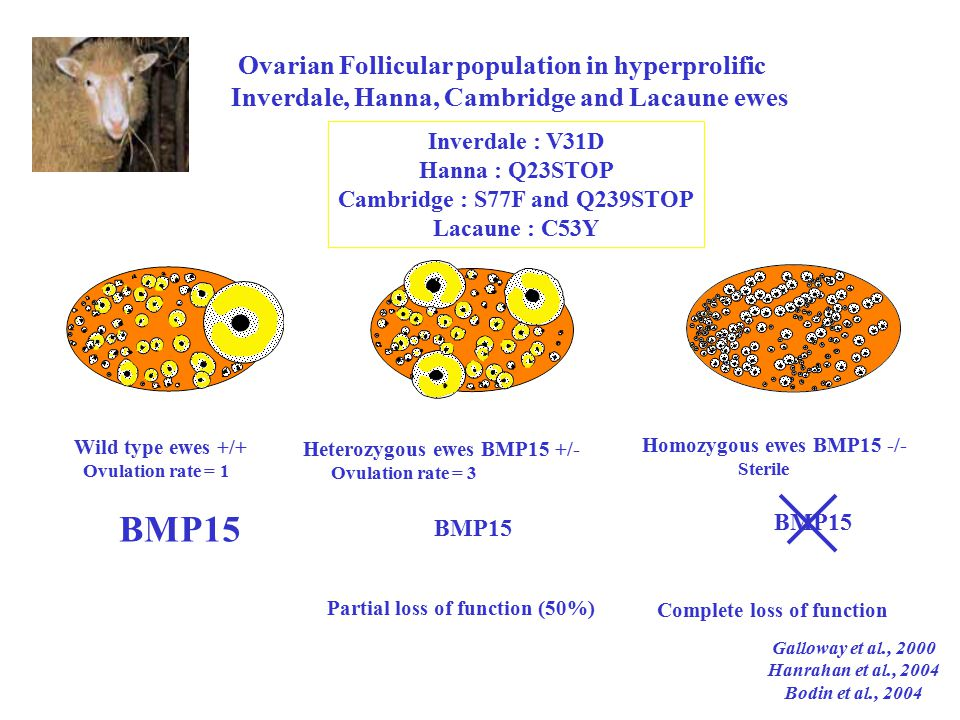 Wild type ewes +/+ Ovulation rate = 1 BMP15 Heterozygous ewes BMP15 +/- Ovulation rate = 3 BMP15 Partial loss of function (50%) Ovarian Follicular population in hyperprolific Inverdale, Hanna, Cambridge and Lacaune ewes Inverdale : V31D Hanna : Q23STOP Cambridge : S77F and Q239STOP Lacaune : C53Y Homozygous ewes BMP15 -/- Sterile BMP15 Complete loss of function Galloway et al., 2000 Hanrahan et al., 2004 Bodin et al., 2004