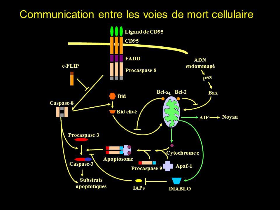 Communication entre les voies de mort cellulaire Ligand de CD95 CD95 FADD Procaspase-8 Substrats apoptotiques Cytochrome c Procaspase-9 Apaf-1 Apoptosome DIABLO IAPs Caspase-3 Procaspase-3 AIF Bcl-x L Bax Bcl-2 c-FLIP Noyau p53 ADN endommagé Bid clivé Bid Caspase-8