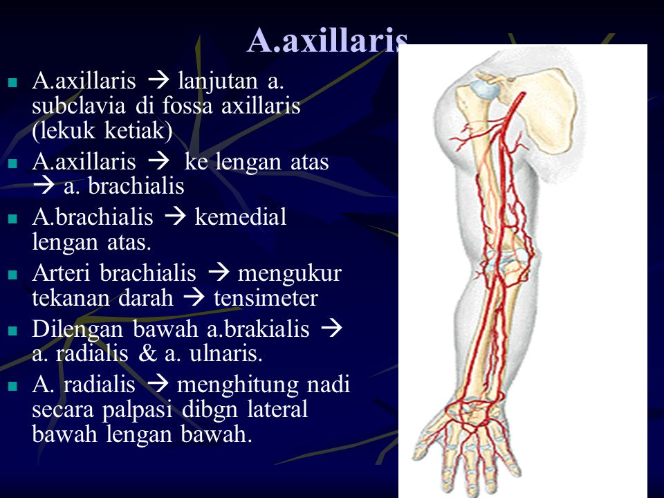A.axillaris. A.axillaris  lanjutan a. subclavia di fossa axillaris (lekuk ketiak) A.axillaris  ke lengan atas  a. brachialis A.brachialis  kemedia