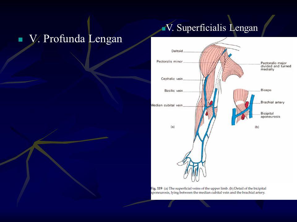 V. Profunda Lengan V. Superficialis Lengan