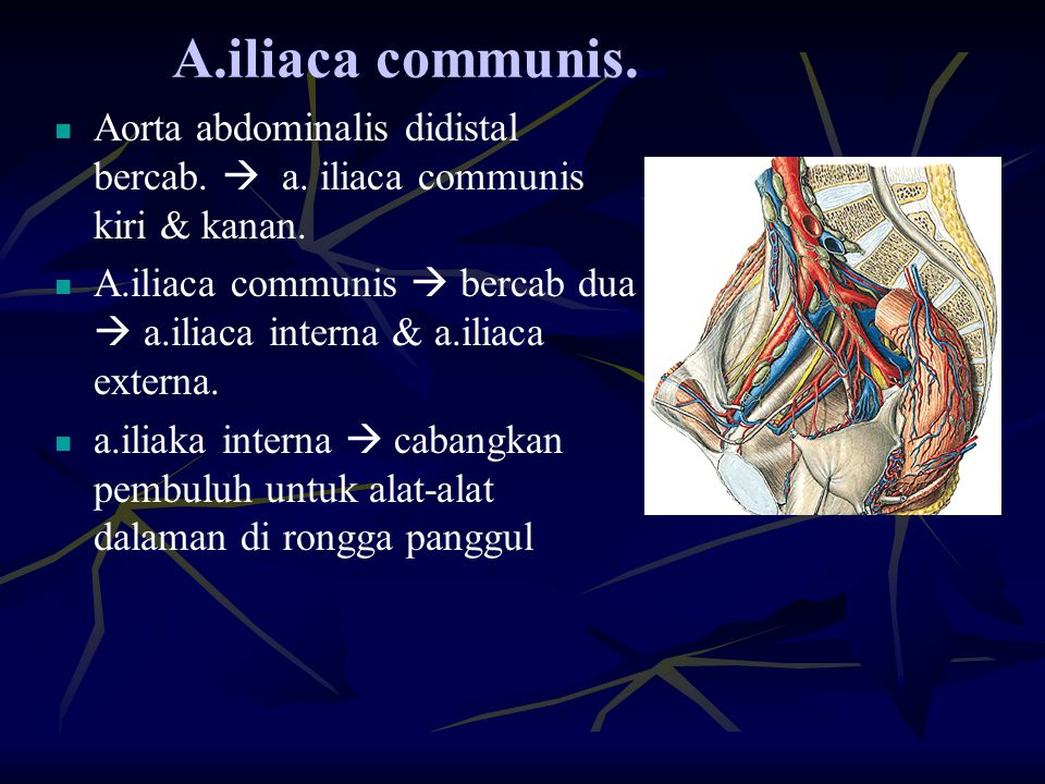 A.iliaca communis. Aorta abdominalis didistal bercab.  a. iliaca communis kiri & kanan. A.iliaca communis  bercab dua  a.iliaca interna & a.iliaca