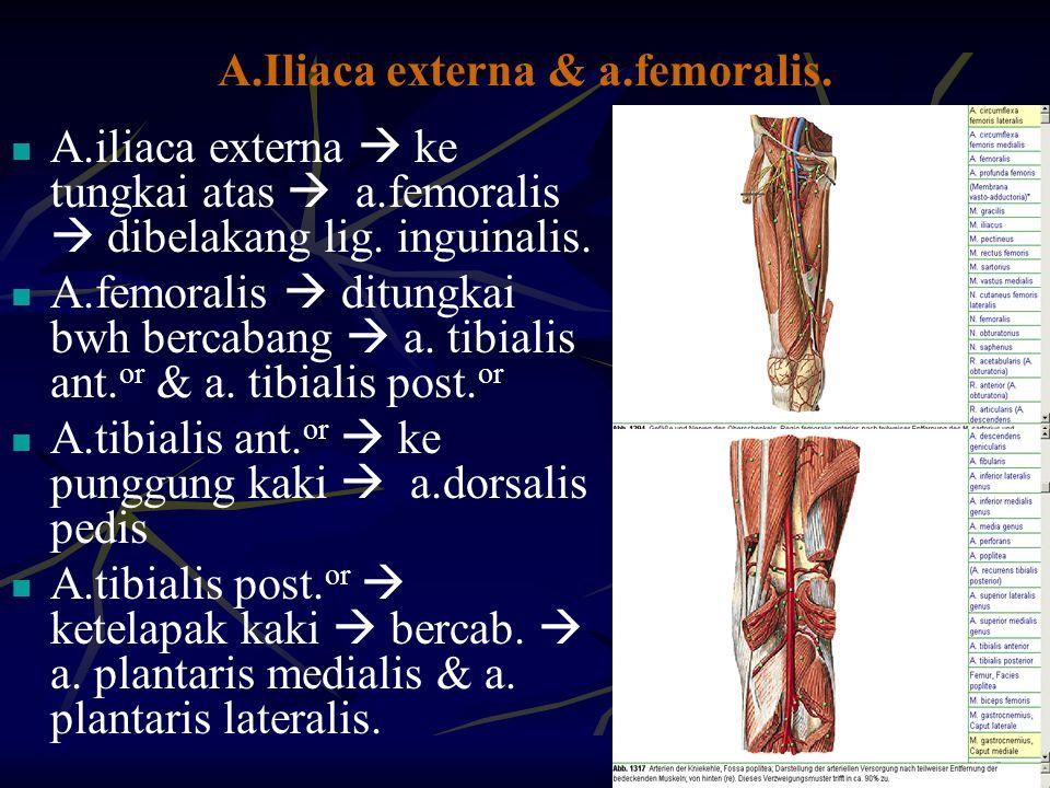 A.Iliaca externa & a.femoralis. A.iliaca externa  ke tungkai atas  a.femoralis  dibelakang lig. inguinalis. A.femoralis  ditungkai bwh bercabang 