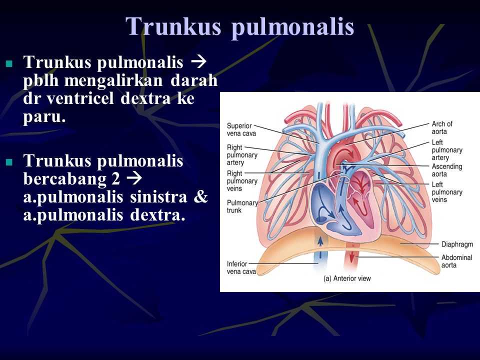 Trunkus pulmonalis Trunkus pulmonalis  pblh mengalirkan darah dr ventricel dextra ke paru. Trunkus pulmonalis bercabang 2  a.pulmonalis sinistra & a