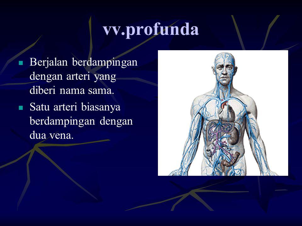 vv.profunda Berjalan berdampingan dengan arteri yang diberi nama sama. Satu arteri biasanya berdampingan dengan dua vena.