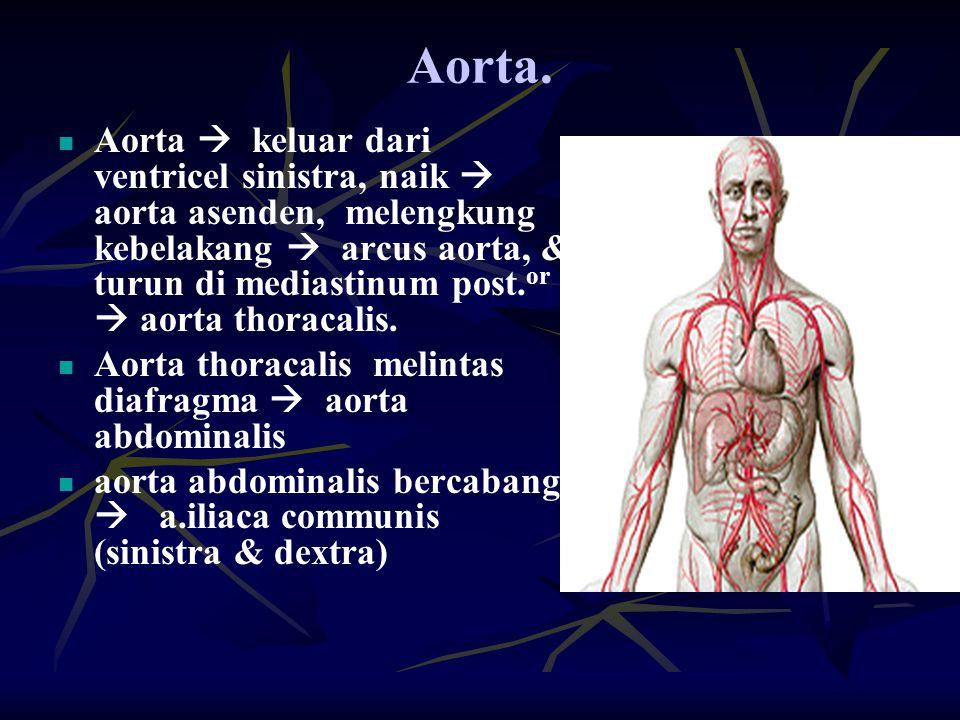 Aorta. Aorta  keluar dari ventricel sinistra, naik  aorta asenden, melengkung kebelakang  arcus aorta, & turun di mediastinum post. or  aorta thor