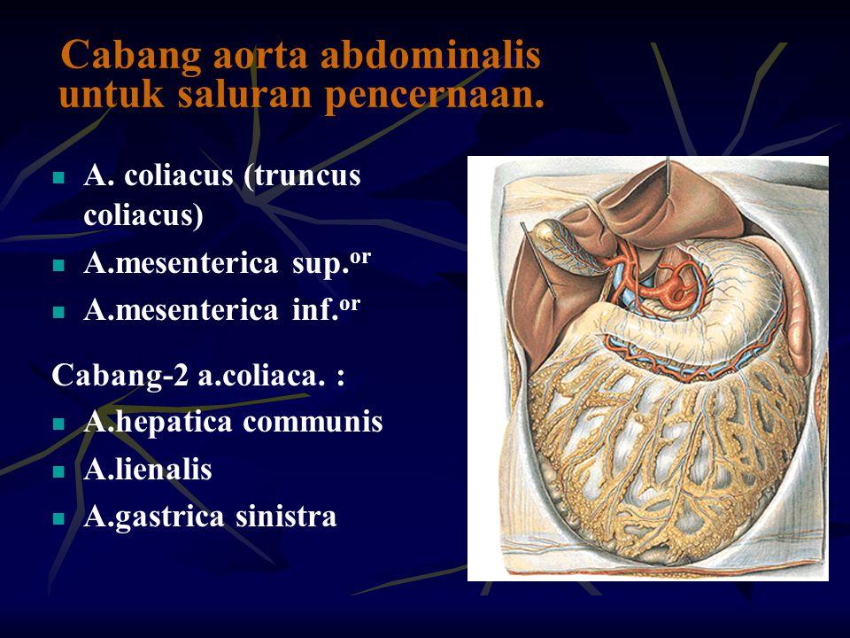 Cabang aorta abdominalis untuk saluran pencernaan. A. coliacus (truncus coliacus) A.mesenterica sup. or A.mesenterica inf. or Cabang-2 a.coliaca. : A.