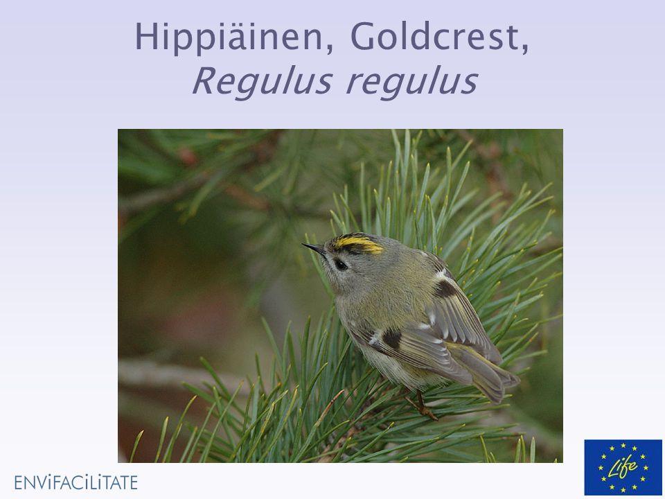 Hippiäinen, Goldcrest, Regulus regulus