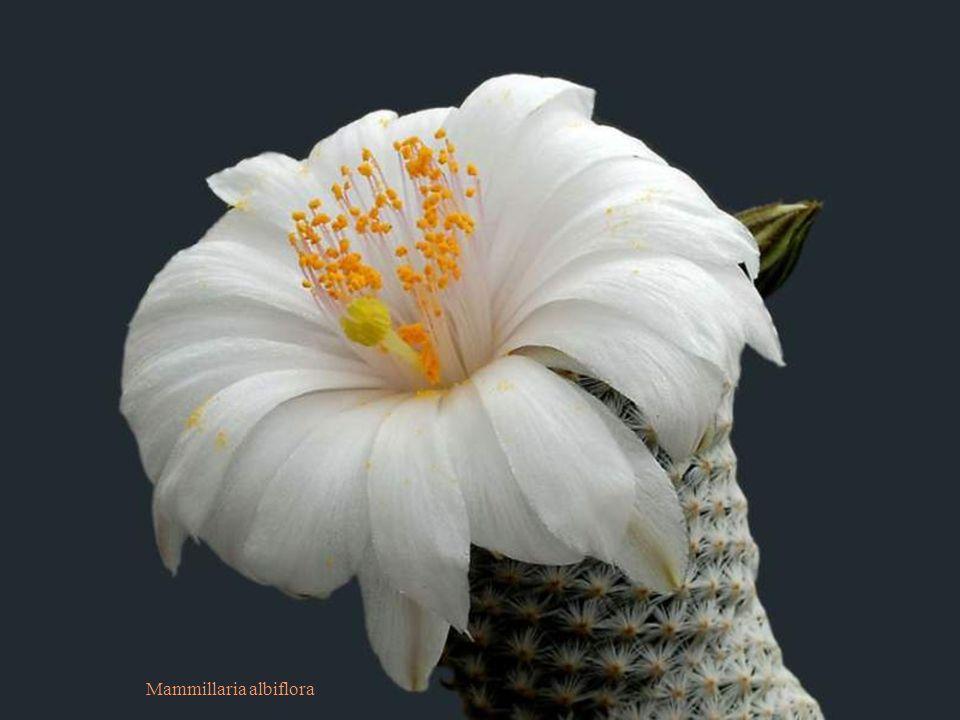 Escobaria wissmannii