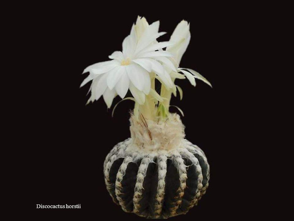 Discocactus pugionacanthus