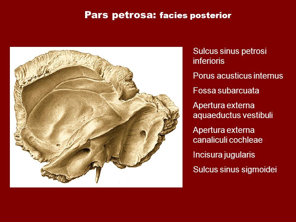 Pars petrosa: facies posterior Sulcus sinus petrosi inferioris Porus acusticus internus Fossa subarcuata Apertura externa aquaeductus vestibuli Apertu