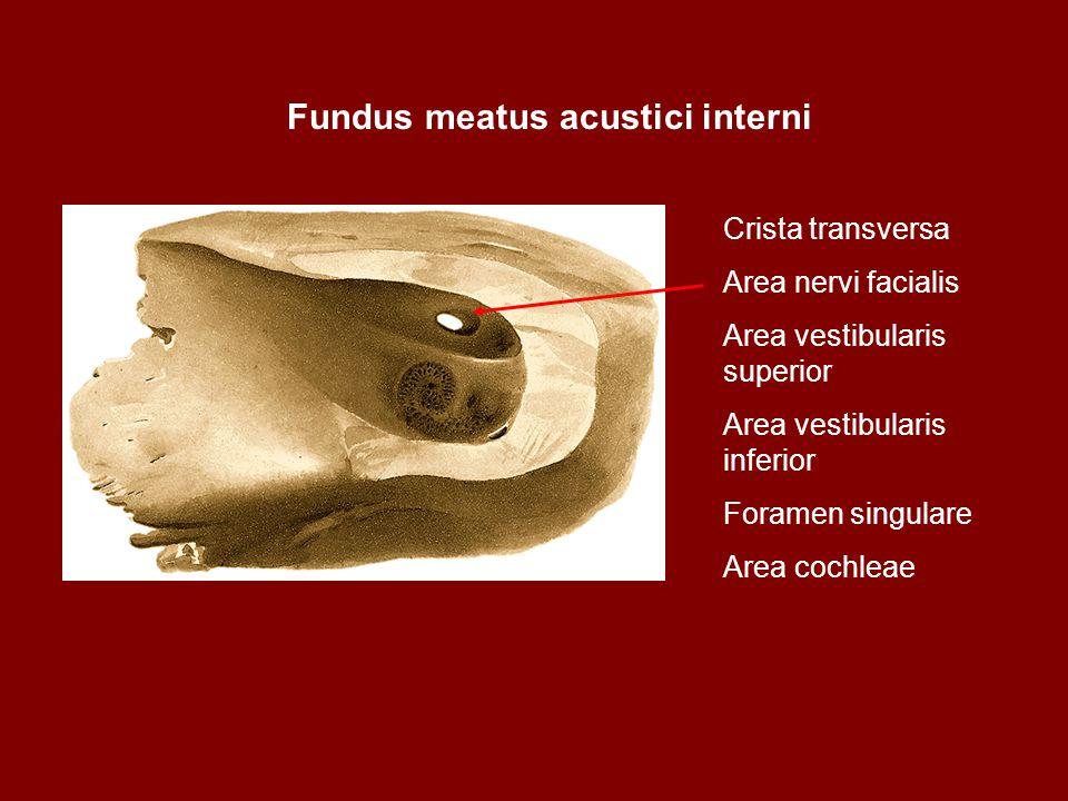 Fundus meatus acustici interni Crista transversa Area nervi facialis Area vestibularis superior Area vestibularis inferior Foramen singulare Area coch