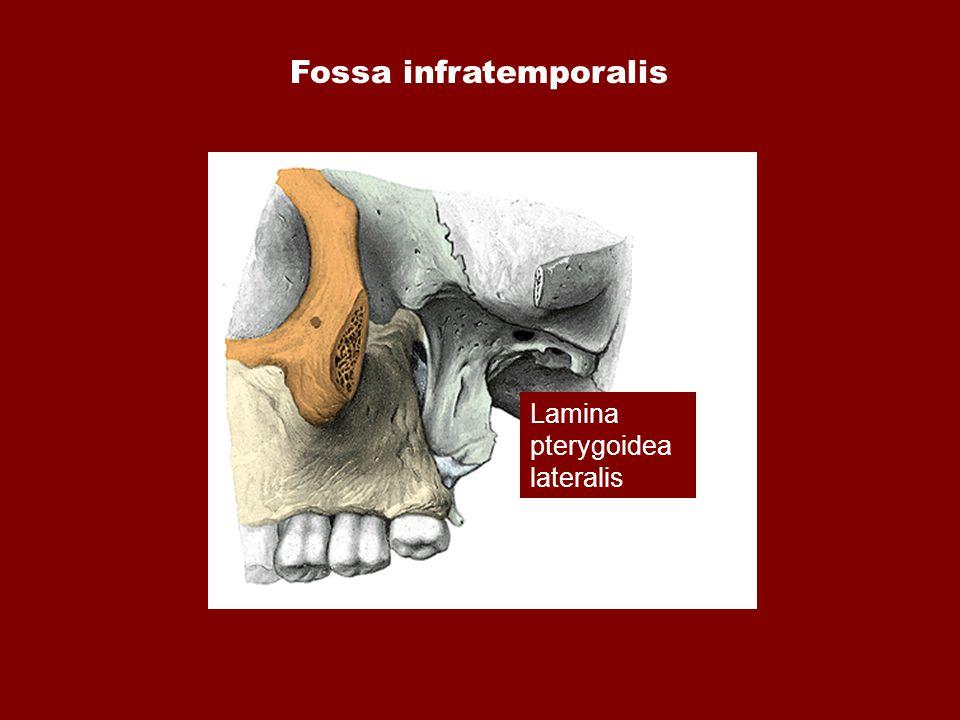 Fossa infratemporalis Lamina pterygoidea lateralis