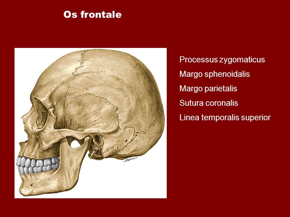 Processus zygomaticus Margo sphenoidalis Margo parietalis Sutura coronalis Linea temporalis superior Os frontale