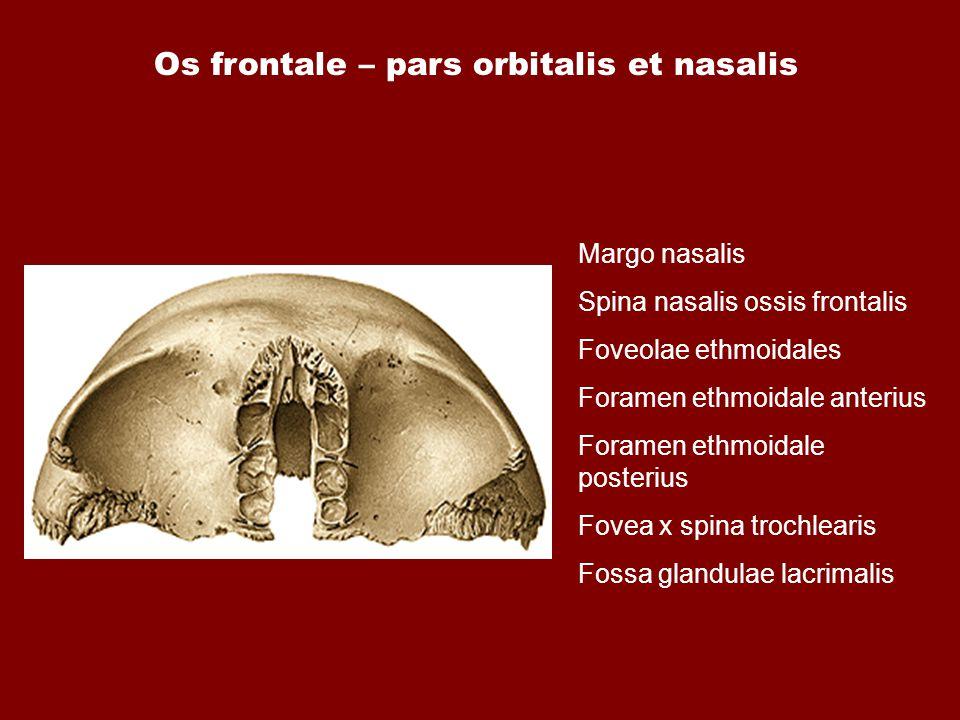 Os frontale – pars orbitalis et nasalis Margo nasalis Spina nasalis ossis frontalis Foveolae ethmoidales Foramen ethmoidale anterius Foramen ethmoidal