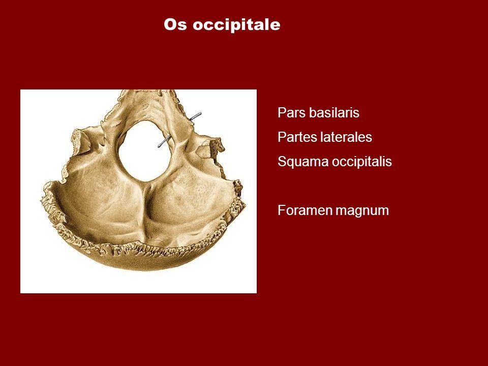 Os occipitale Pars basilaris Partes laterales Squama occipitalis Foramen magnum