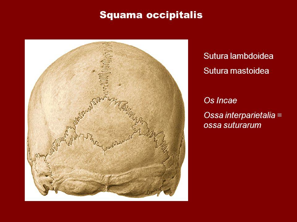 Squama occipitalis Sutura lambdoidea Sutura mastoidea Os Incae Ossa interparietalia = ossa suturarum