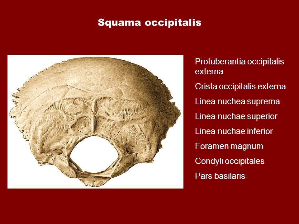 Squama occipitalis Protuberantia occipitalis externa Crista occipitalis externa Linea nuchea suprema Linea nuchae superior Linea nuchae inferior Foram