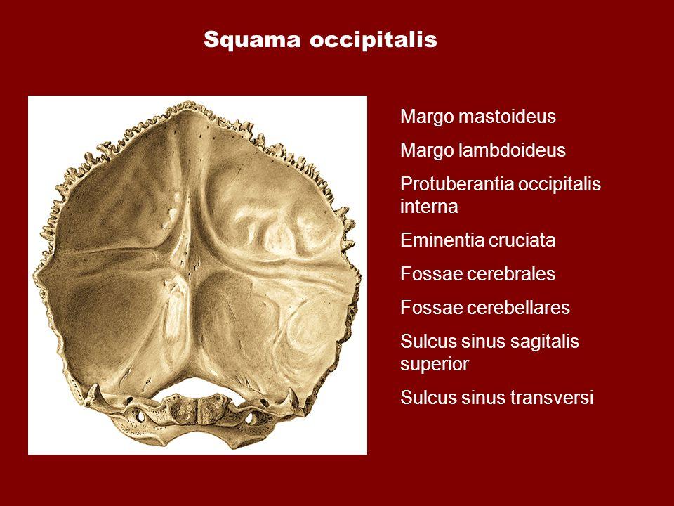 Squama occipitalis Margo mastoideus Margo lambdoideus Protuberantia occipitalis interna Eminentia cruciata Fossae cerebrales Fossae cerebellares Sulcu