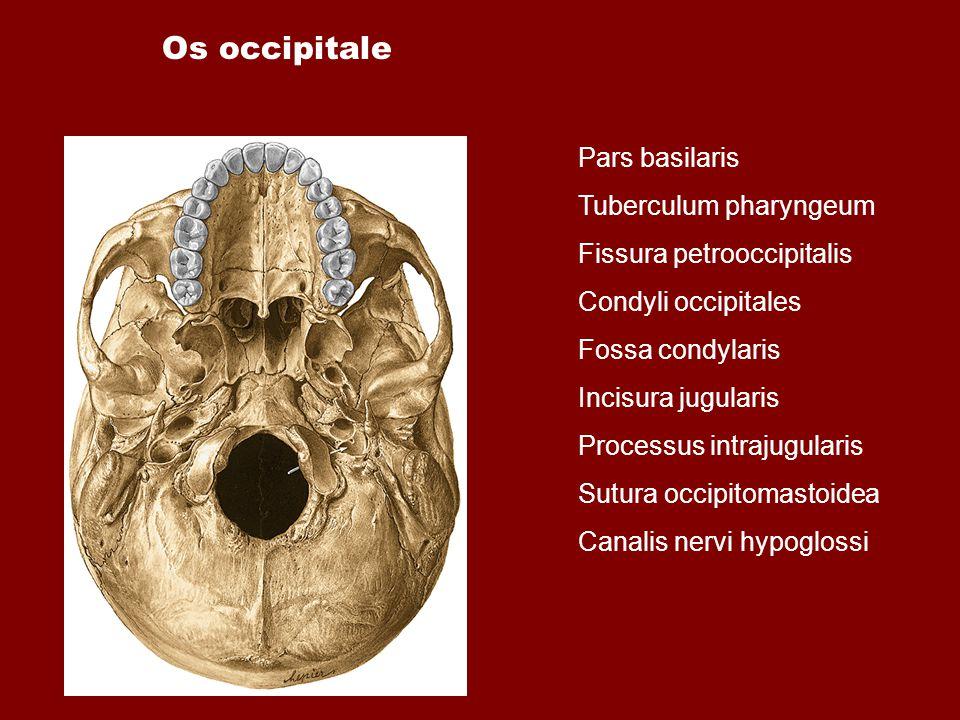 Os occipitale Pars basilaris Tuberculum pharyngeum Fissura petrooccipitalis Condyli occipitales Fossa condylaris Incisura jugularis Processus intrajug