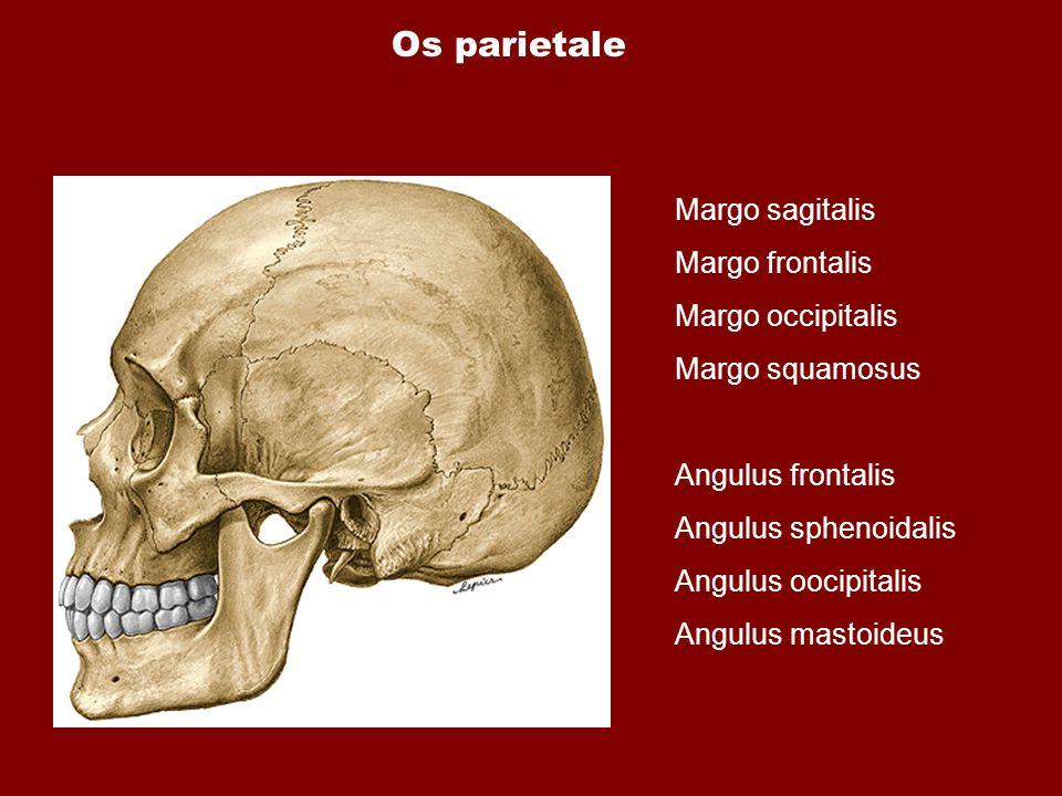 Os parietale Margo sagitalis Margo frontalis Margo occipitalis Margo squamosus Angulus frontalis Angulus sphenoidalis Angulus oocipitalis Angulus mast