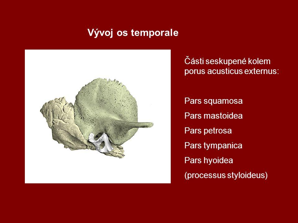Vývoj os temporale Části seskupené kolem porus acusticus externus: Pars squamosa Pars mastoidea Pars petrosa Pars tympanica Pars hyoidea (processus st