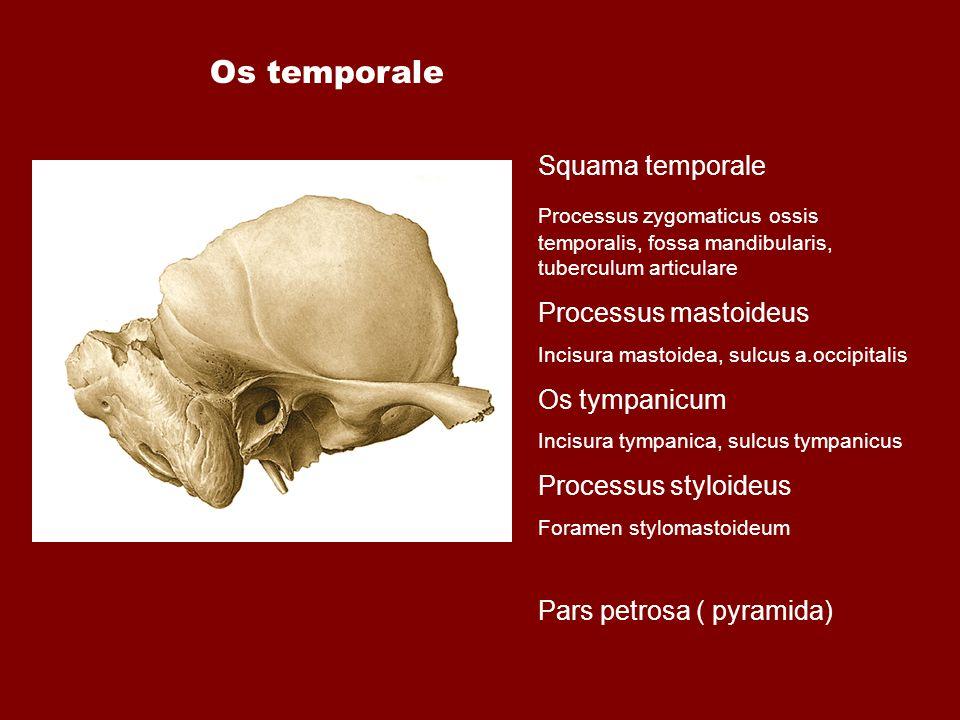 Squama temporale Processus zygomaticus ossis temporalis, fossa mandibularis, tuberculum articulare Processus mastoideus Incisura mastoidea, sulcus a.o