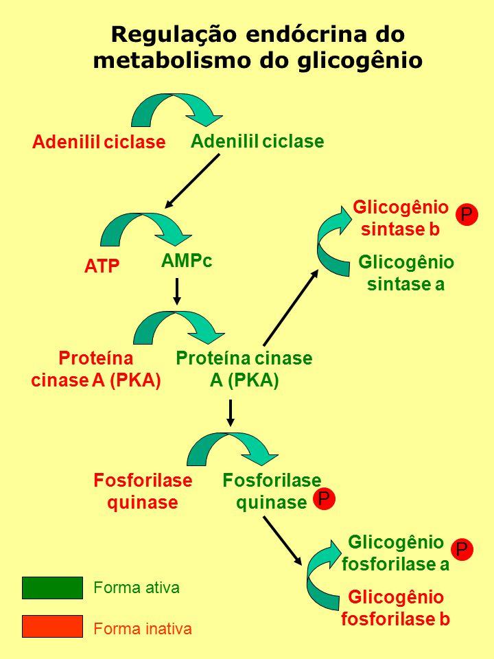 Regulação endócrina do metabolismo do glicogênio Adenilil ciclase ATP AMPc Proteína cinase A (PKA) Fosforilase quinase Fosforilase quinase P Glicogênio fosforilase b Glicogênio fosforilase a P Glicogênio sintase a Glicogênio sintase b P Forma ativa Forma inativa