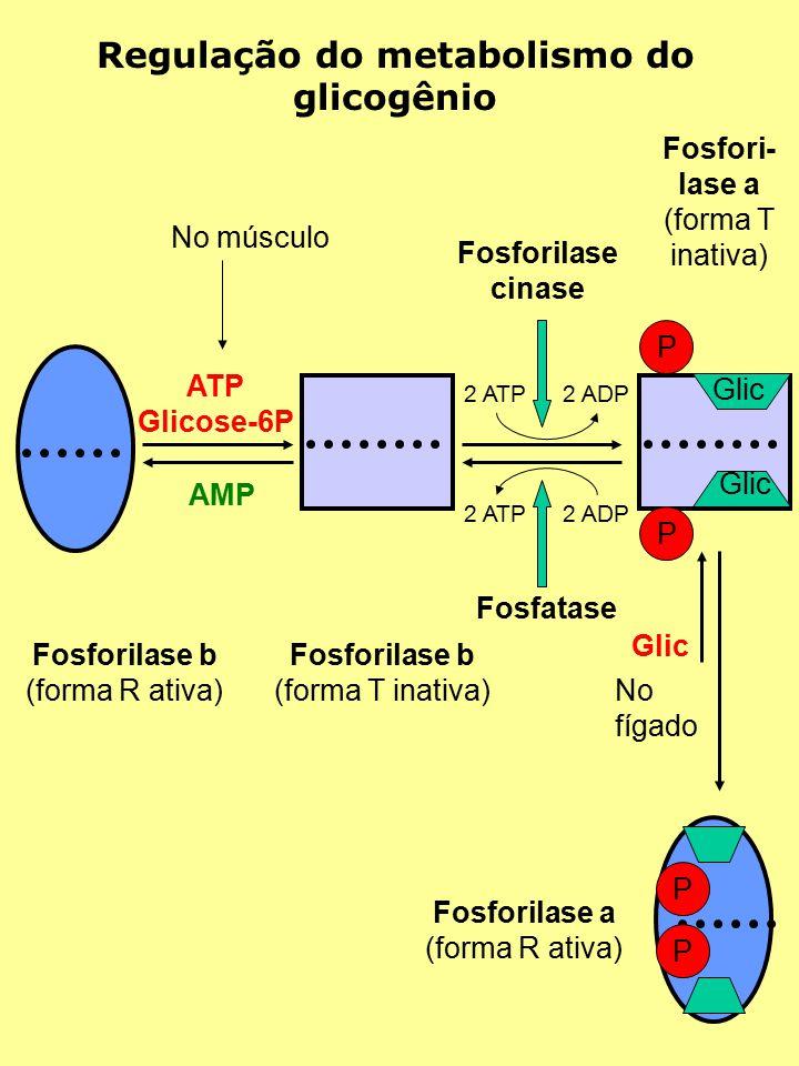 AMP ATP Glicose-6P Fosforilase b (forma R ativa) Fosforilase b (forma T inativa) Regulação do metabolismo do glicogênio No músculo P P Glic 2 ATP2 ADP 2 ATP2 ADP Fosforilase cinase Fosfatase Fosfori- lase a (forma T inativa) P P Fosforilase a (forma R ativa) No fígado Glic