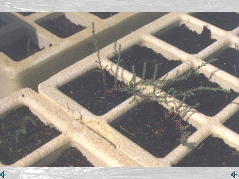 Vivaista in serra (Worker in the greenhouse)
