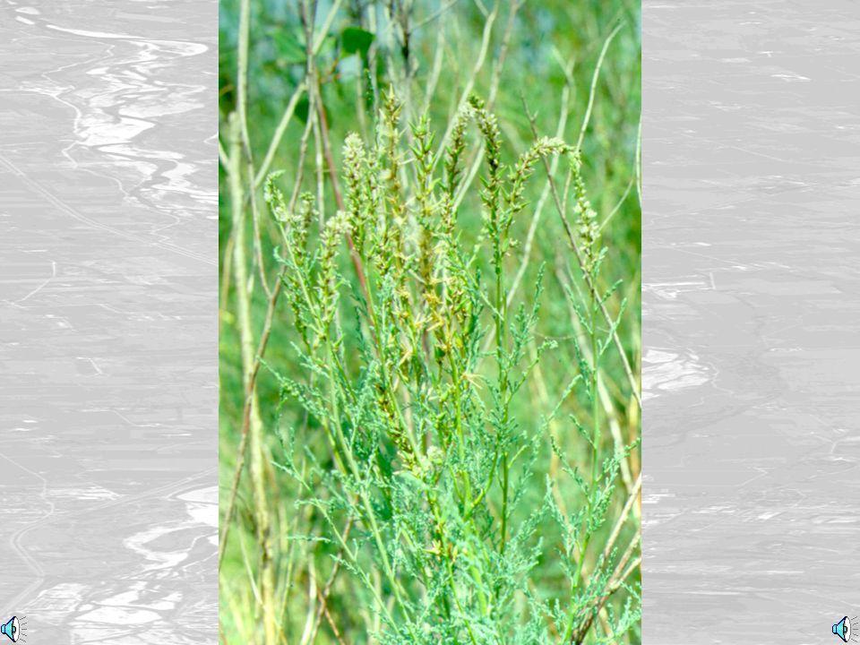 Myricaria con semi (Myricaria with seeds)