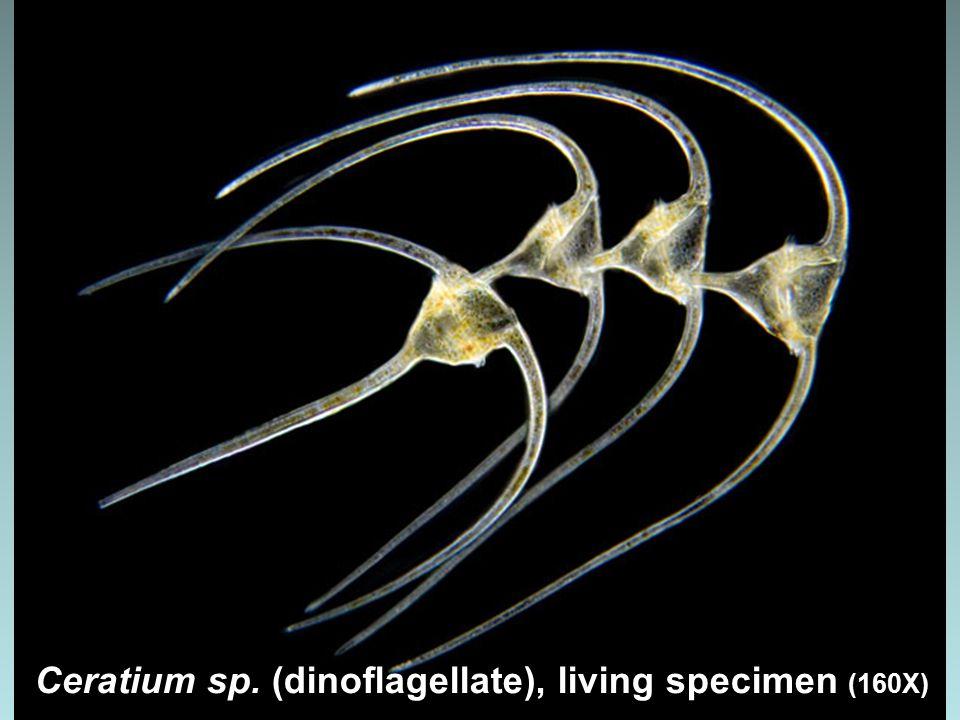 Caloneis amphisbaena (Bacillariophyceae) diatom (1000x)