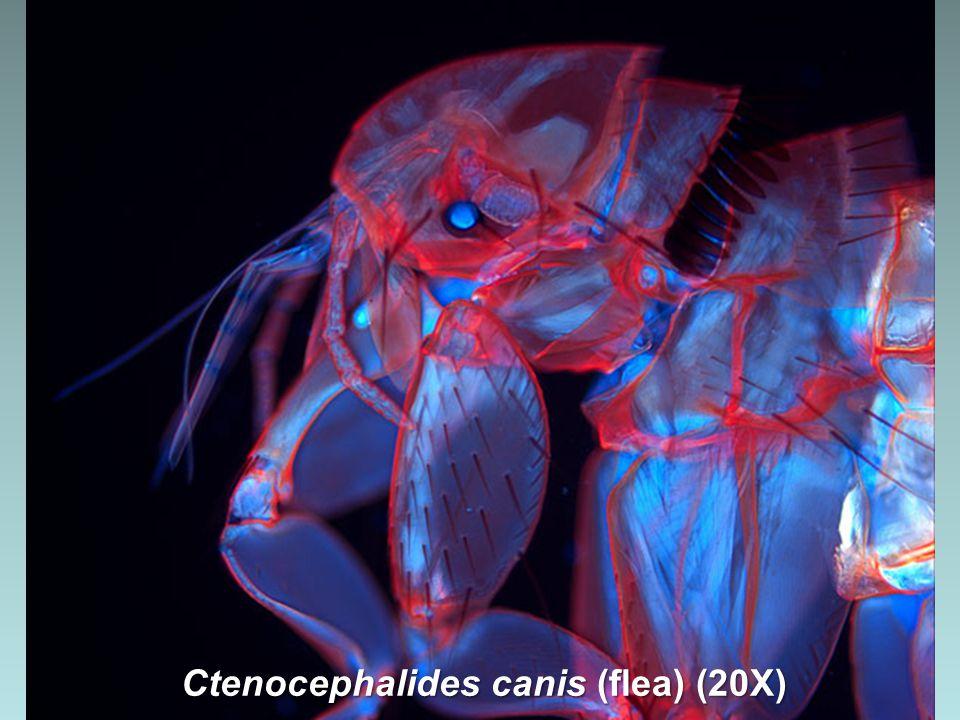 Craspedodiscus coscinodiscus Ehrenberg (extinct marine diatom) (1440X)