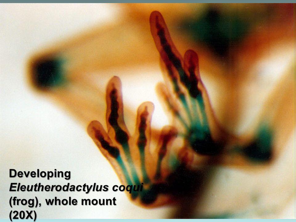 Daphnia sp. (100X)