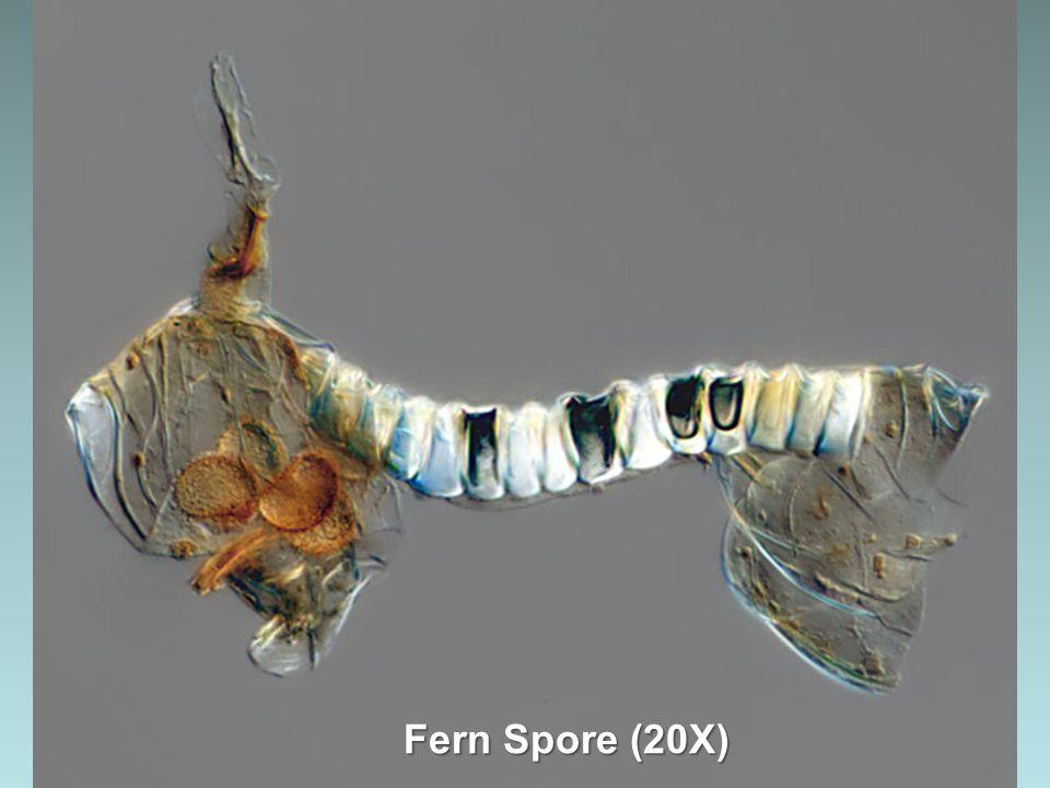 Fern Spore (20X)