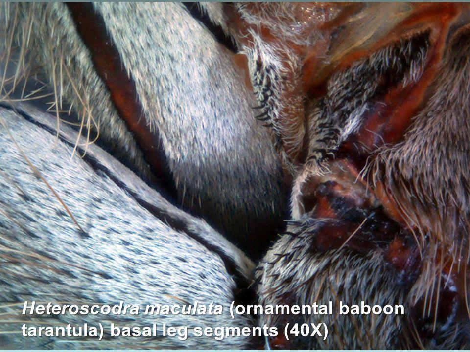 Heteroptera- Micronecta sp. (35X)