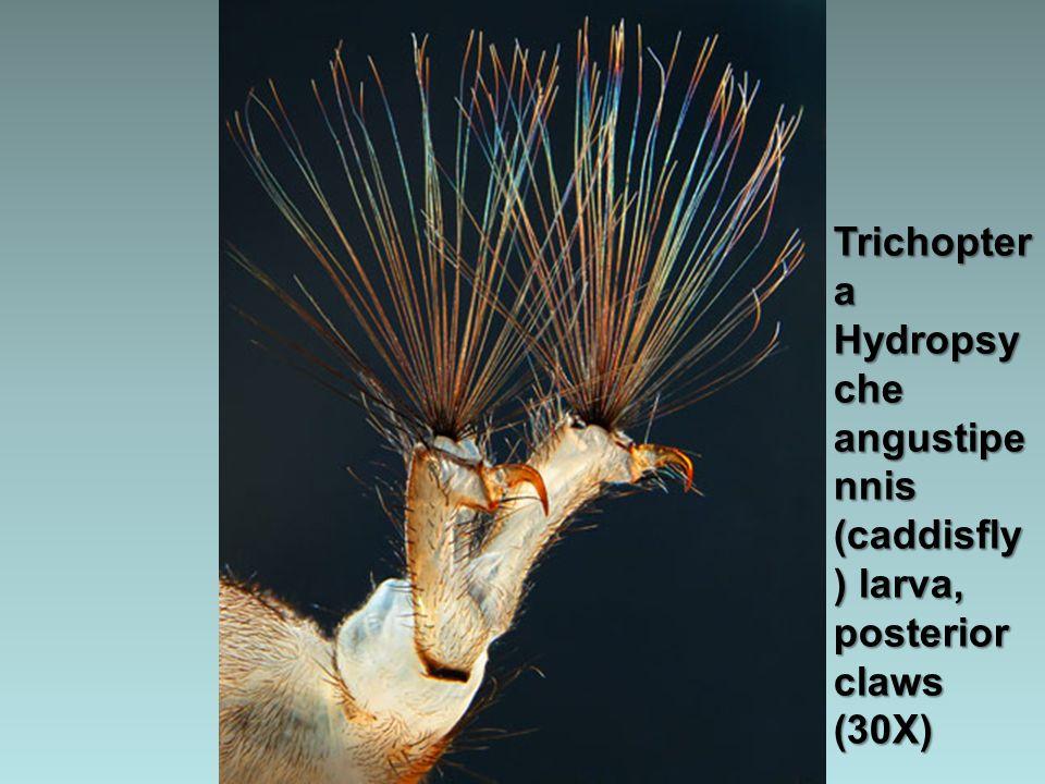 Tortula papillosa (moss) (20X)
