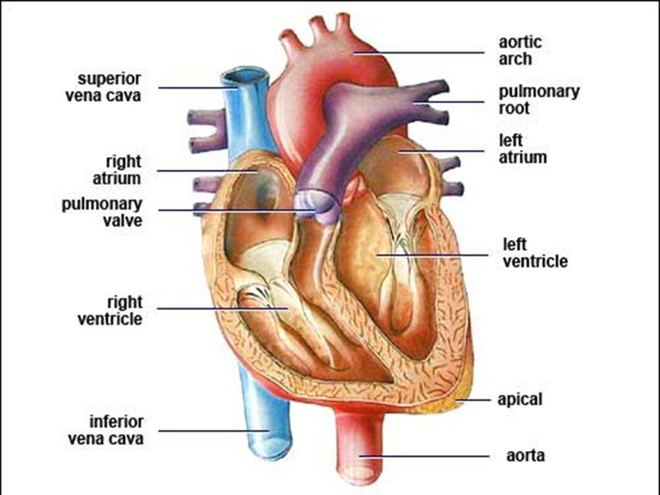 Aortic Valve Aortic Stenosis Aortic Regurgitation