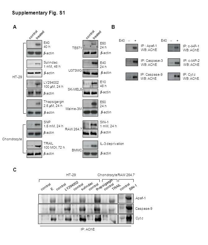 Apaf-1 Caspase-9 Cyt c control sulindac control E LY294002 control TRAIL thapsigargin HT-29Chondrocyte control SIN-1 RAW 264.7 IP: AChE C Supplementar