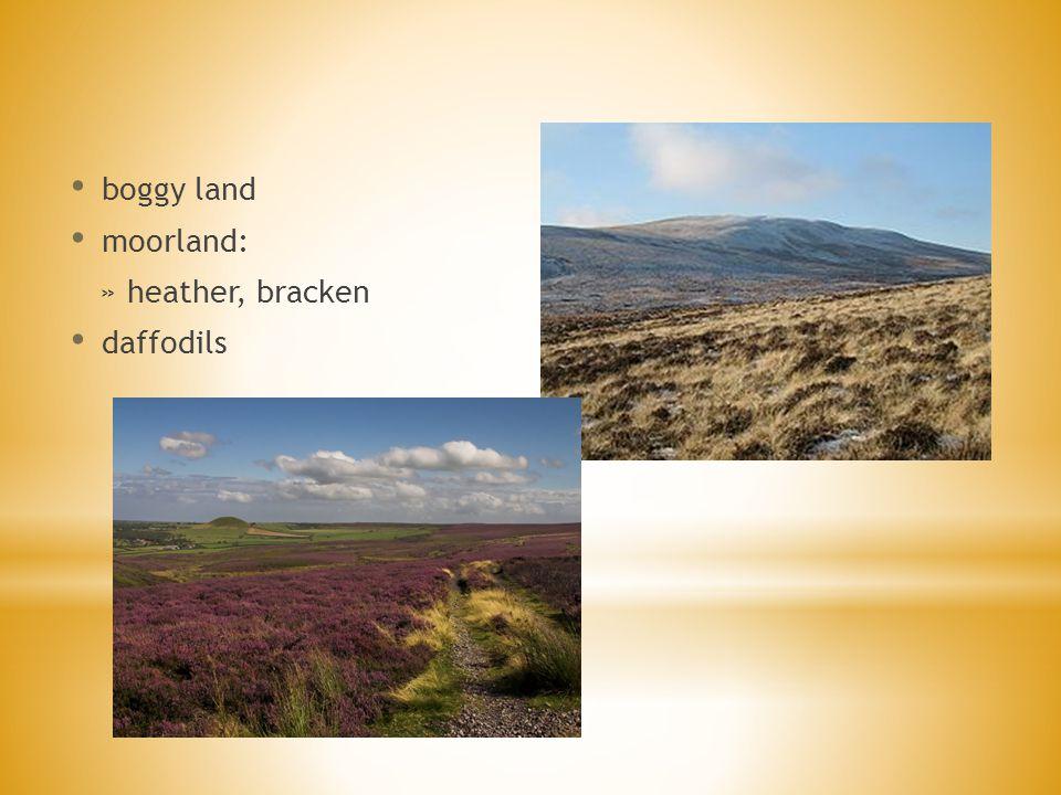 boggy land moorland: » heather, bracken daffodils