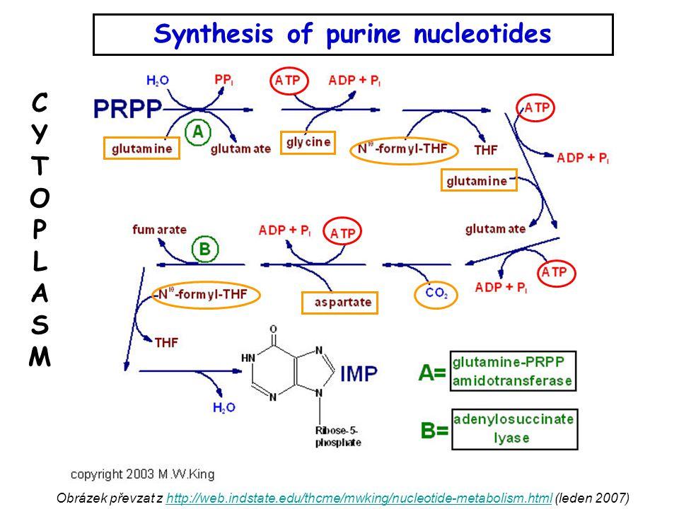 Obrázek převzat z http://web.indstate.edu/thcme/mwking/nucleotide-metabolism.html (leden 2007)http://web.indstate.edu/thcme/mwking/nucleotide-metabolism.html Synthesis of purine nucleotides CYTOPLASMCYTOPLASM