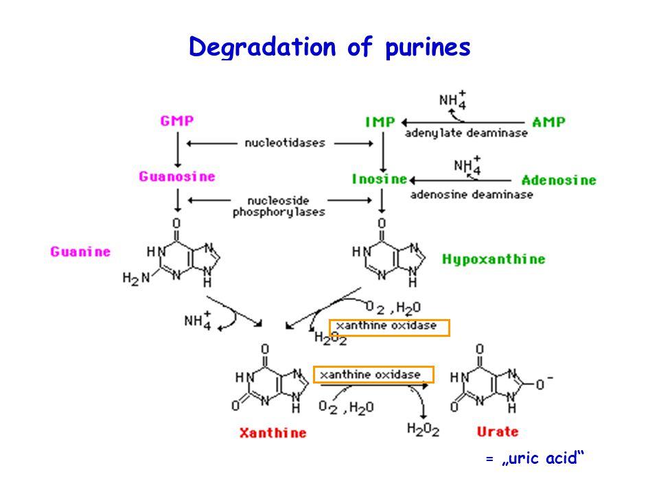 """Degradation of purines = """"uric acid"""