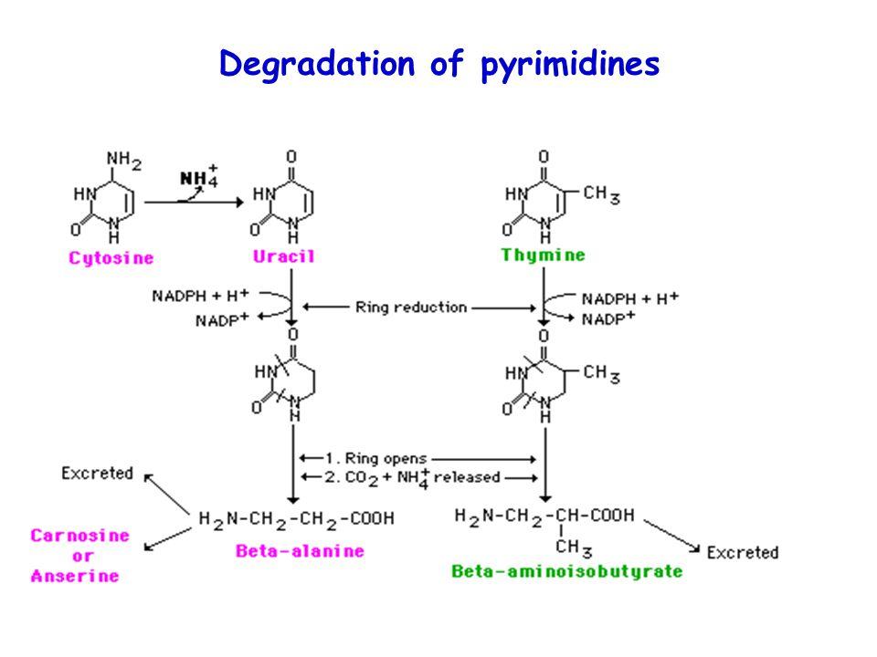 Degradation of pyrimidines