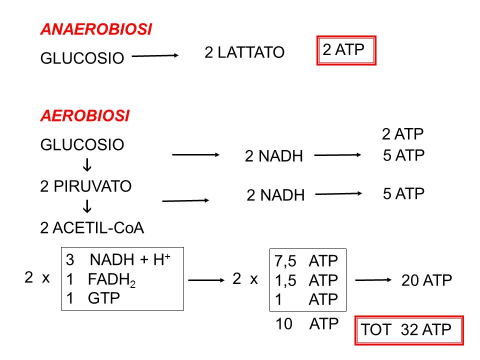 ANAEROBIOSI GLUCOSIO AEROBIOSI GLUCOSIO  2 PIRUVATO  2 ACETIL-CoA 2 ATP 2 NADH 5 ATP 2 NADH 5 ATP 2 ATP 3NADH + H + 1 FADH 2 1 GTP 2 x 7,5 ATP 1,5 ATP 1 ATP 20 ATP 10 ATP TOT 32 ATP 2 LATTATO