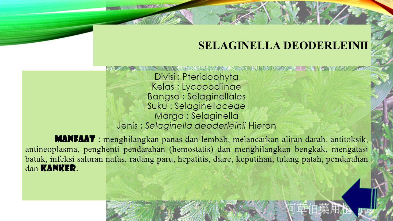 SELAGINELLA DEODERLEINII Divisi : Pteridophyta Kelas : Lycopodiinae Bangsa : Selaginellales Suku : Selaginellaceae Marga : Selaginella Jenis : Selaginella deoderleinii Hieron Manfaat : menghilangkan panas dan lembab, melancarkan aliran darah, antitoksik, antineoplasma, penghenti pendarahan (hemostatis) dan menghilangkan bengkak, mengatasi batuk, infeksi saluran nafas, radang paru, hepatitis, diare, keputihan, tulang patah, pendarahan dan kanker.