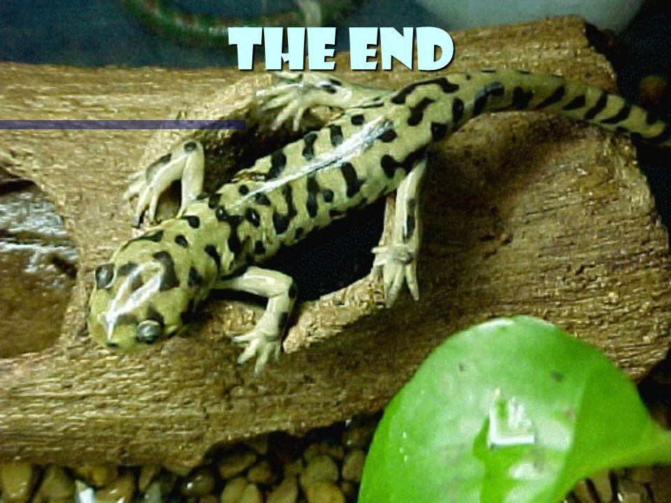 Bibliography www.google.com www.google.com www.google.com www.salamanders.com www.salamanders.com www.salamanders.com www.herpnet.net/lowa- Herpetology.com www.herpnet.net/lowa- Herpetology.com www.herpnet.net/lowa- Herpetology.com www.herpnet.net/lowa- Herpetology.com Encarta Encarta