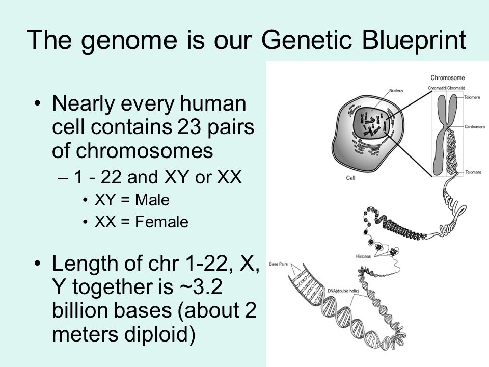 The genome is our Genetic Blueprint Nearly every human cell contains 23 pairs of chromosomes –1 - 22 and XY or XX XY = Male XX = Female Length of chr
