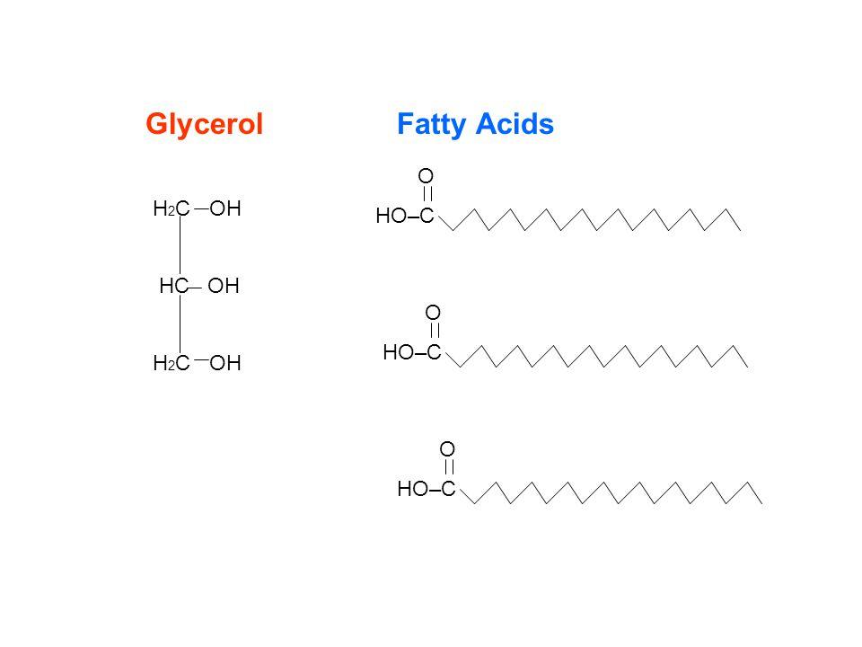 H 2 C OH HC OH H 2 C OH O HO–C O HO–C O HO–C GlycerolFatty Acids