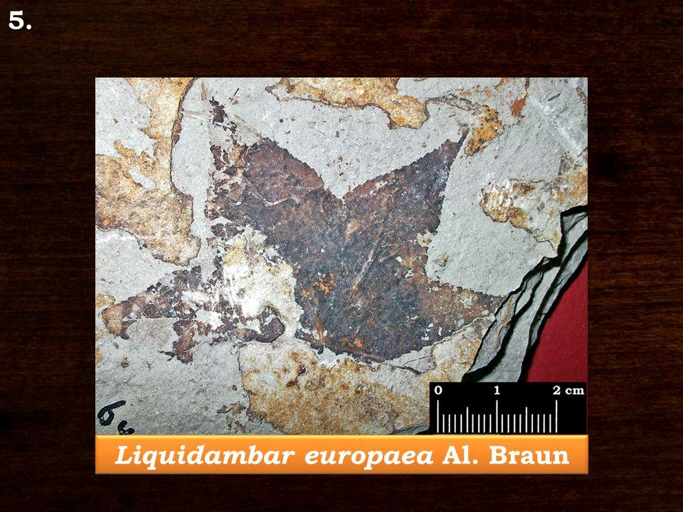 5. Liquidambar europaea Al. Braun